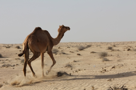 A camel (just in case you didn't know😉...) running in the desert!